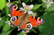 Alberto Carrera, European Peacock, Inachis Io, Aglais Io, Peacock Butterfly, Guadarrama National Park, Segovia, Castilla y León, Spain, Europe.