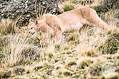 Puma Trek in Torres del Paine