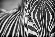 Zebra keeping a cautious eye out for predators.