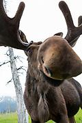 A moose at the Alaska Wildlife Conservation Center, Portage, Alaska<br /> <br /> Photographer: Christina Sjogren<br /> <br /> Copyright 2018, All Rights Reserved