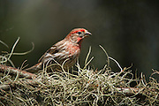 House Finch (Carpodacus mexicanus)<br /> Little St Simon's Island, Barrier Islands, Georgia<br /> USA<br /> HABITAT & RANGE: Urban & suburban in North America