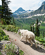 "A mountain goat (Oreamnos americanus) shares the Garden Wall Trail near Logan Pass in Glacier National Park, Montana, USA. The mountain goat is an even-toed ungulate of the order Artiodactyla and the family Bovidae that includes antelopes, gazelles, and cattle. It belongs to the subfamily Caprinae (goat-antelopes), along with thirty-two other species including true goats, sheep, the chamois, and the musk ox. The mountain goat is the only species in the genus Oreamnos. The name Oreamnos is derived from the Greek term oros (stem ore-) ""mountain"" (or, alternatively, oreas ""mountain nymph"") and the word amnos ""lamb""."