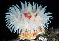 Sea anemone (Urticina eques), Kristiansund, Nordmøre, Norway.
