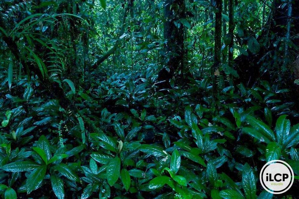 Lush lowland rainforest, Tawau Hills Park, Sabah, Borneo, Malaysia