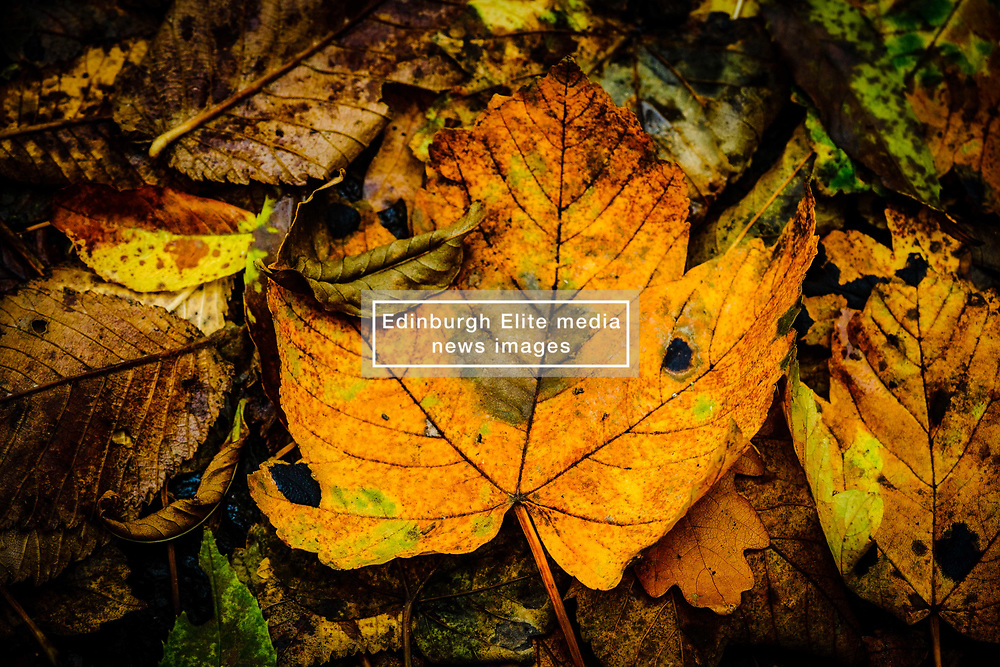 Autumn colour in Cardrona Forest, Scottish Borders<br /> <br /> (c) Andrew Wilson | Edinburgh Elite media
