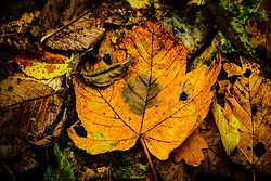 Autumn colour in Cardrona Forest, Scottish Borders<br /> <br /> (c) Andrew Wilson | Edinburgh Elite media