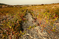 "the vineyards of Tavel, Languedoc, France..October 4, 2007..Photo by Owen Franken for the NY Times.the vineyards of Tavel, Languedoc, France.. vineyards with "" slate covered with sharp, flat chunks of chalky limestone"", as described by the author, Ellen Kaye..October 4, 2007..Photo by Owen Franken for the NY Times."