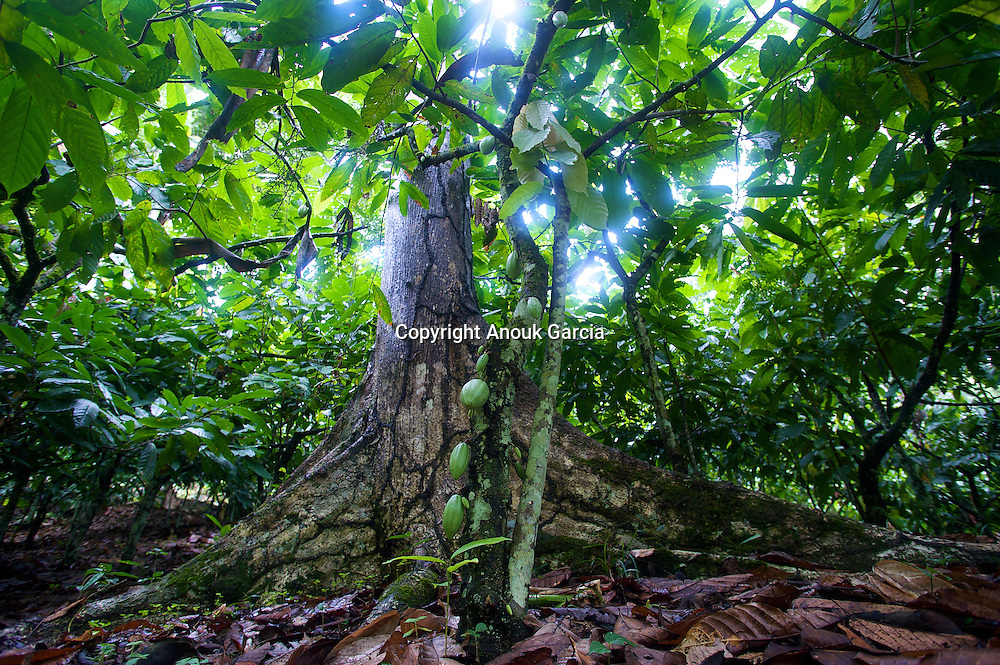 Pour pousser le cacao a besoin de l'ombre des grands arbres///To push the cocoa need for the shade of the large trees has.