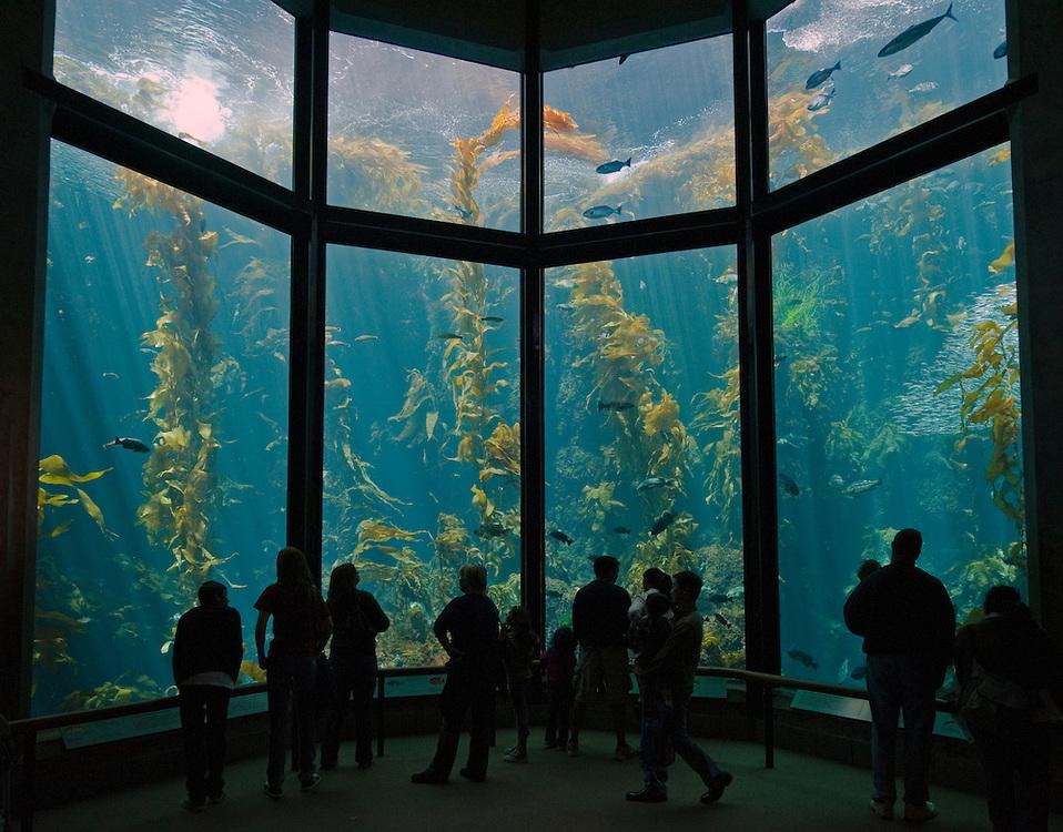 """Monterey, California, Monterey Bay Aquarium, Sea Nettle """"Chrysaora Fuscescens"""""""