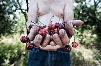 contadino durante la raccolta delle ciliegie