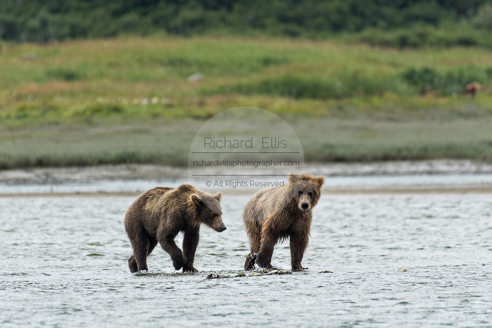 Brown bear sub-adults play along the lower lagoon at the McNeil River State Game Sanctuary on the Kenai Peninsula, Alaska. The remote site is accessed only with a special permit and is the world's largest seasonal population of brown bears in their natural environment.