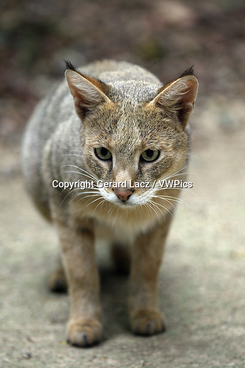 Jungle Cat, felis chaus, Adult