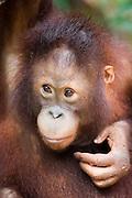 A young orangutan (Pongo pygmaeus), Malaysia.  captive.