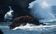 Waves crash along the coast of Santiago island while Sally lightfoot crabs cling to a rock.