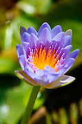 a water lilly in a pond