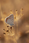 Female Common Blue (Polyommatus icarus) Butterfly Male uppersides are an iridescent lilac blue with a thin black border. Females are usually brown with a row of red spots along the edges and some blue at the base of the wings. Photographed in Israel, Summer July