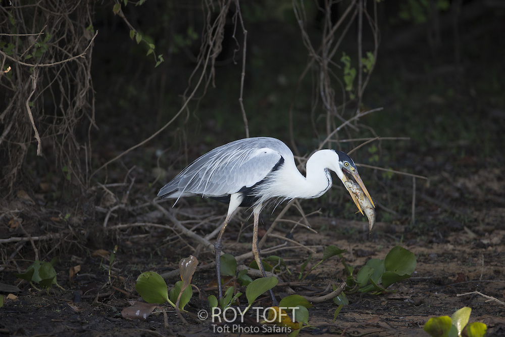 Cocoi Heron (Ardea cocoi) feeding on a fish, Pantanal, Brazil