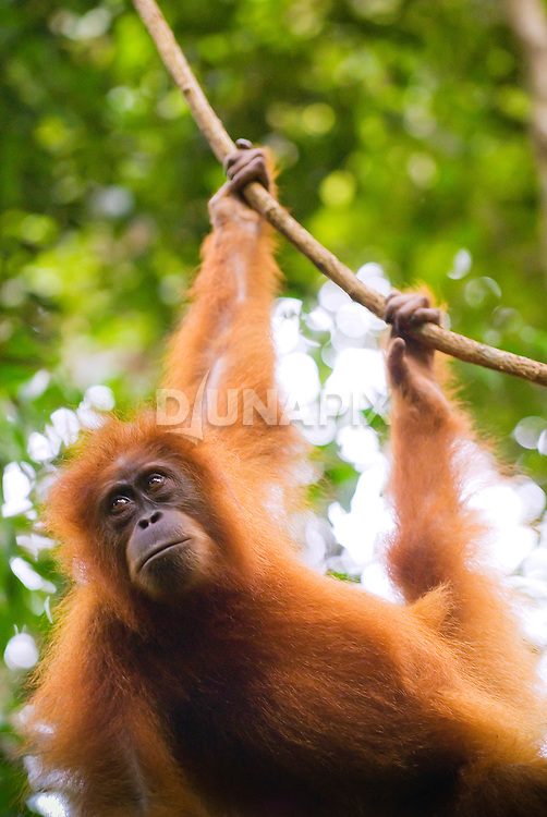 Sumatran orangutan hangs from a liana