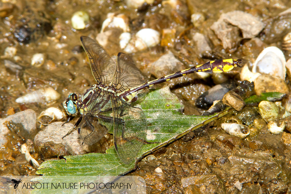 Tennessee Clubtail (Phanogomphus sandrius) - male<br /> TENNESSEE: Rutherford Co.<br /> Middle Fork of Stones River @ Elam Mill Rd.; S of Murfreesboro<br /> 30.June.2010<br /> J.C. Abbott #2464