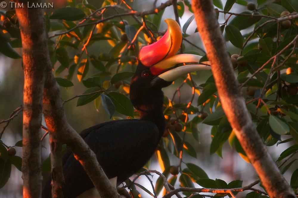 Rhinoceros Hornbill (Buceros rhinoceros) adult male, feeding at strangler fig tree Ficus dubia.