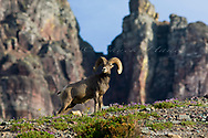 Bighorn sheep ram at Logan Pass in Glacier National Park in Montana
