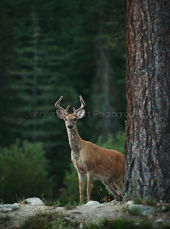 August 13, 2013; Victor, MT, USA; A young buck stands in the forest of Victor, Montana. Mandatory Credit: Jennifer Stewart