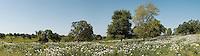 White Prickly Popppies (Argemone polyanthemos), Gonzales County, Texas