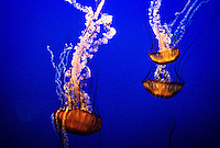 Jellyfish (Sea nettle/chrysaora fuscescens), The Outer Bay, Monterey Bay Aquarium, Cannery Row, Monterey, California USA