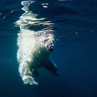 Canada, Nunavut Territory, Underwater view of Polar Bear (Ursus maritimus) swimming in Frozen Strait along Hudson Bay