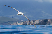 Wandering Albatross Pictures - Photos