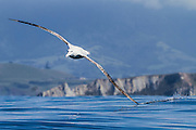 With remarkable grace and precision, a Wandering Albatross capitalizes on its enormous wingspan (up to 11 feet 6 inches) to effortlessly soar over the ocean surface.   Dynamic soaring is the flying technique that allows the albatross to stay aloft for hours on end, all while efficiently conserving its energy.