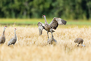 Sandhill Crane (Grus canadensis) jumps while foraging at Creamer's Field Migratory Waterfowl Refuge in Fairbanks in Interior Alaska. Summer. Afternoon.