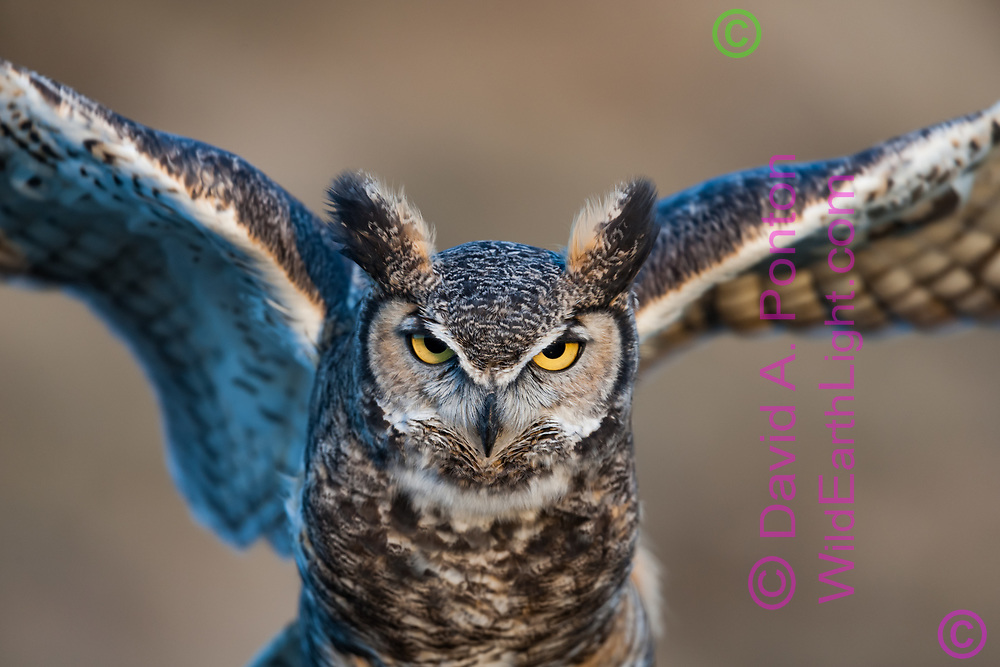 Great-horned owl portrait, as it exercises wings, © 2005 David A. Ponton