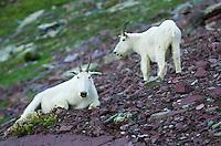 Mountain Goats (Oreamnos americanus) at Logan Pass, Glacier National Park Montana USA