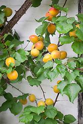 Apricots trained against a wall. Prunus armenica 'Harogem'