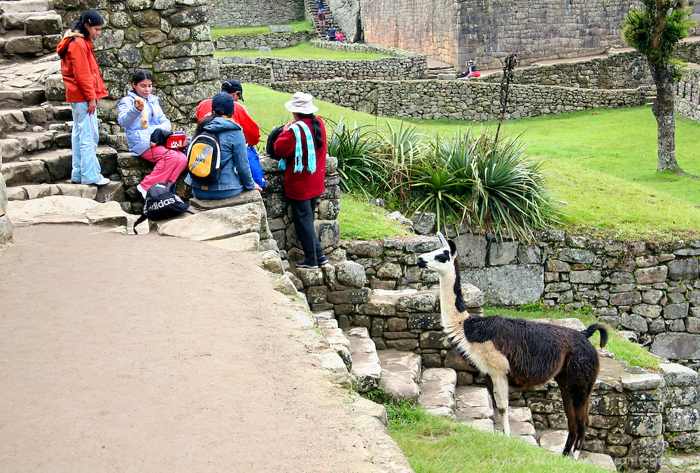Americas, South America, Peru, Machu PIcchu. A llama watches tourists with interest at Machu Picchu, a UNESCO World Heritage Site.