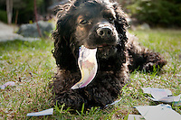 Marley the cocker spaniel chews on Canadian money.