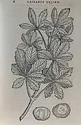 Woodcut print of a Horse Chestnut (Aesculus hippocastanum) printed 1583