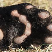 Wolverine paw pads. Captive Animal