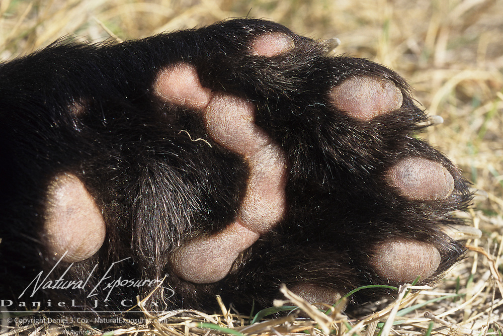 Wolverine paw pads. Captive Animal
