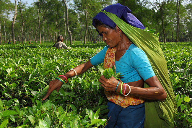 Tea pickers in Sylhet Region, near Srimangal, in Bangladesh. Women picking tea in the tea gardens are from an ethnic group originally coming from India. The tea Estastes in Bangladesh are mainly producing black tea.