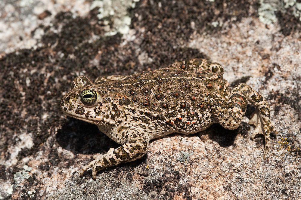 Natterjack Toad (Bufo calamita).Sierra de Andújar Natural Park, Mediterranean woodland of Sierra Morena, north east Jaén Province, Andalusia. SPAIN.RANGE: west and central Europe to Russia & UK & Ireland...Mission: Iberian Lynx, May 2009