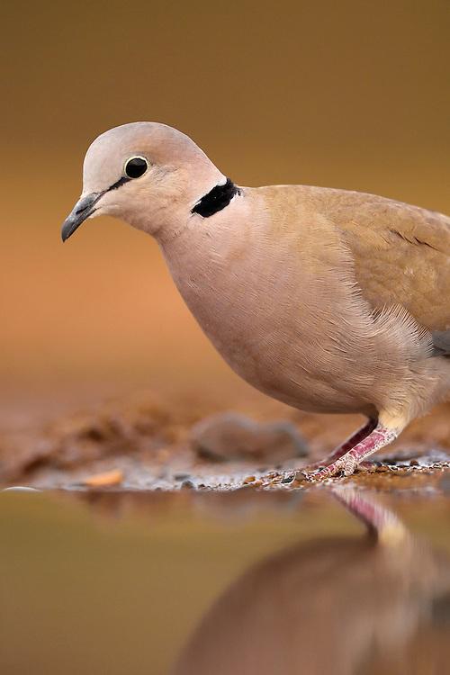 Cape Turtle Dove, Streptopelia capicola, Zimanga Private Nature Reserve, KwaZulu Natal, South Africa