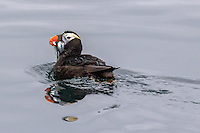 Tufted puffin holds fish in its beak; showing changes to winter coloration in late summer