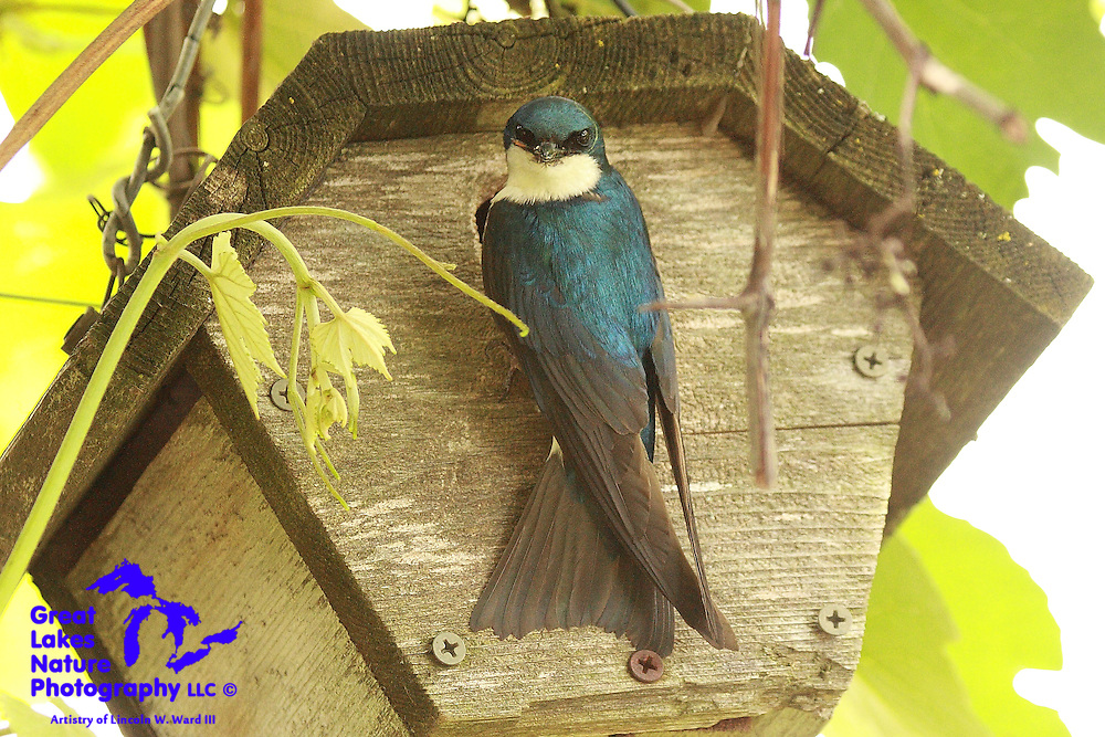 A male Tree Swallow carefully examines me before tending to the young nestlings inside this secluded cedar birdhouse. These are strikingly beautiful birds.