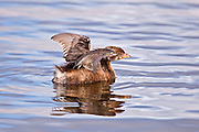 Immature Pied Billed Grebe spreading wings to dry and/or stretch.
