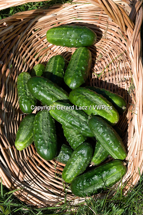Gherkin or Pickle, cucumis sativus, Vegetable garden in Normandy