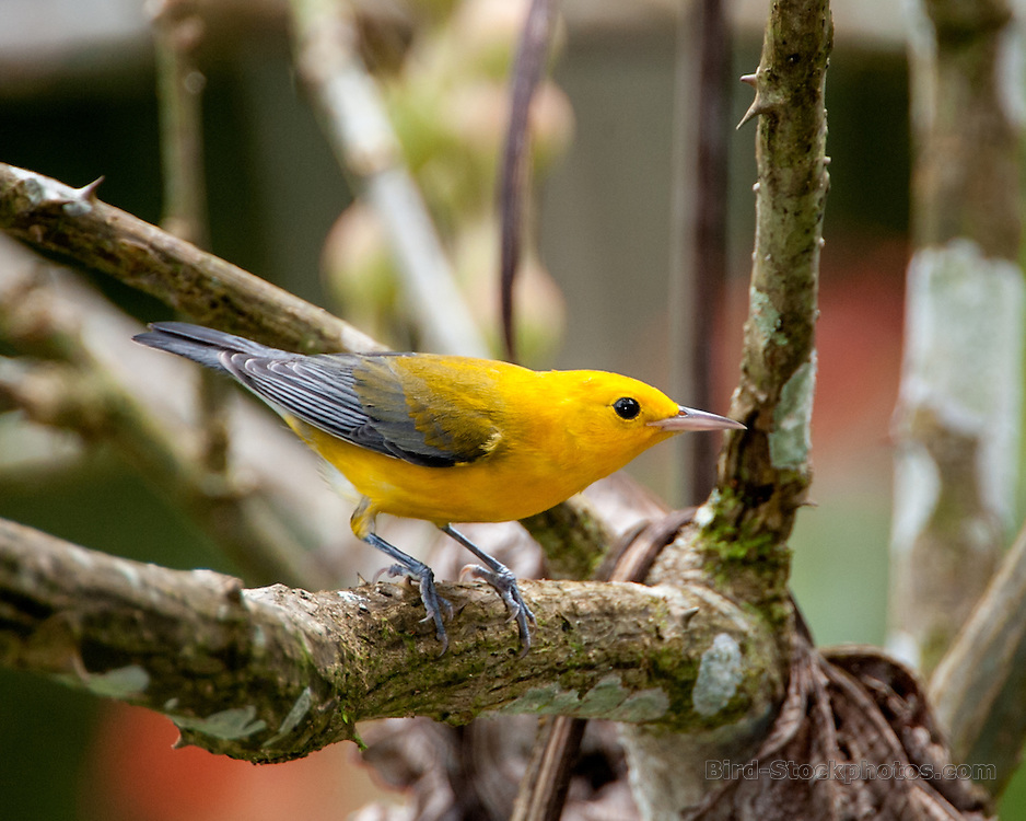 Prothonotary Warbler, Protonotaria citrea, Panama, by Owen Deutsch
