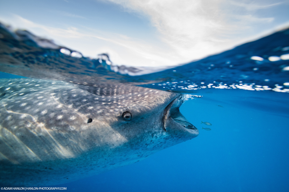 Two small fish hitch a ride in the biw wave caused by the enormous shark swimming behind them. Each whale shark carries a whole ecosystem wth it,  and provides shelter, food and mobility for many other species.