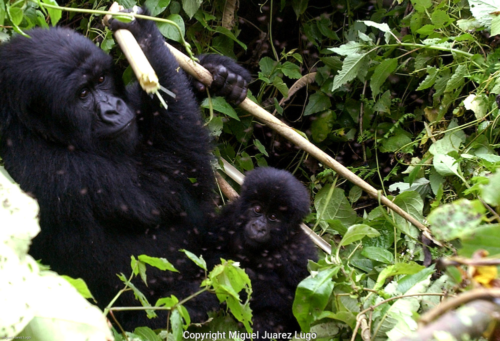 Virunga National Park, Democratic Republic of Congo: Baby Kanyarunga shares a piece of bamboo with his mother. They are from the Humba family of mountain gorillas, who are among about 300 gorillas who make their home in Africa's oldest national park. The park has been plagued by warring militia groups, and seven mountain gorillas have been slaughtered so far this year. (PHOTO: MIGUEL JUAREZ LUGO).